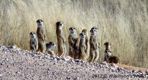 A clan of meerkats on the road to Mata Mata