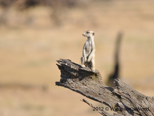 A lone meerkat on sentry duty