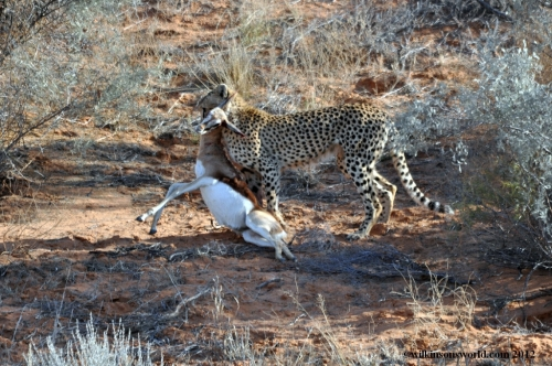 Cheetah dragging a dead Springbok