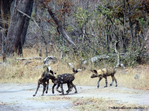 Young wild dogs playing