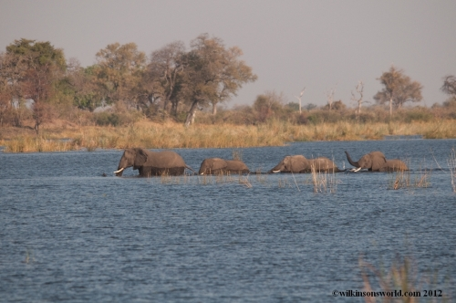 Elephants crossing the Kwando River