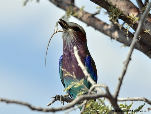 Lilac-breasted roller eating a snake