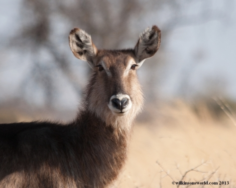 Beautiful Waterbuck