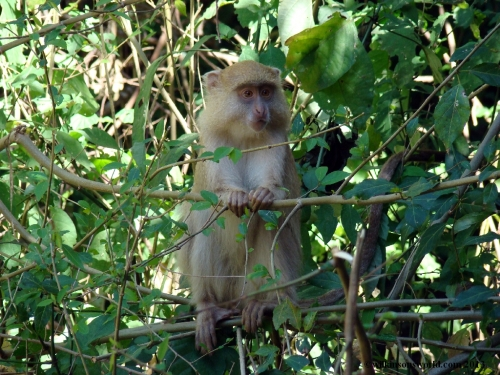 Albino-like Samango Monkey - Cape Vidal