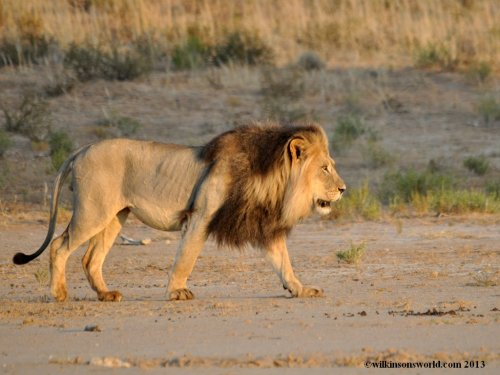 Kalahari red-maned lion