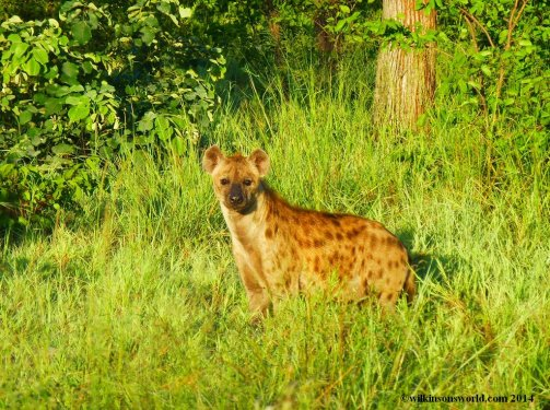 Spotted hyena - early morning