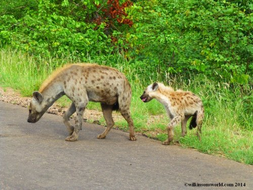 Mother and baby Spotted hyena