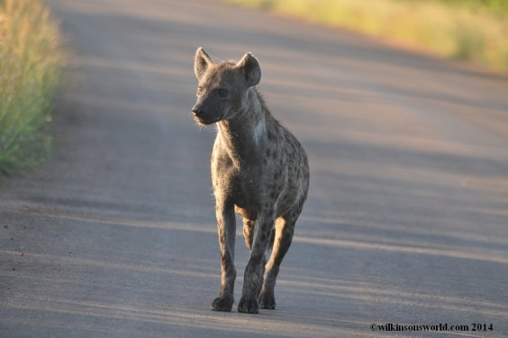 Spotted hyena on the hunt
