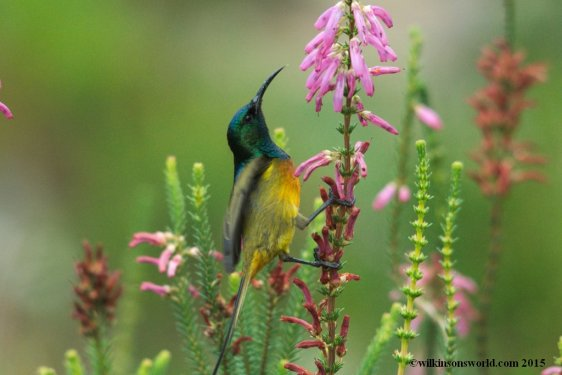 Orange-breasted-sunbird-Kirstenbosch