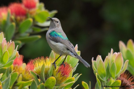 Southern double-coloured sunbird