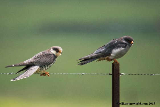 Male and Female Amur falcons