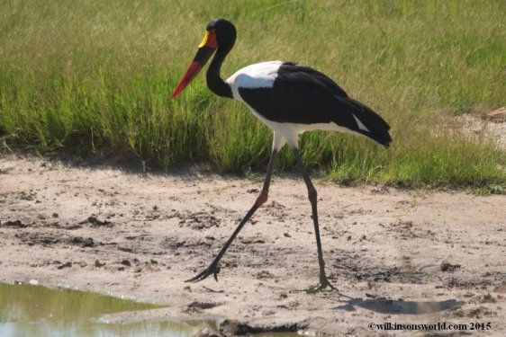 Saddle-billed stork- Kruger National Park