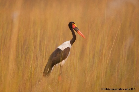 Saddle-billed stork - Moremi, Botswana