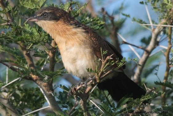Young Burchell's Coucal