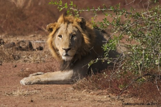 Lion  KNP
