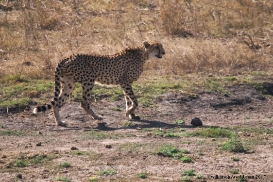 Cheetah mother  KNP