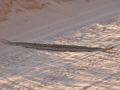 Puff adder at Kgalagadi