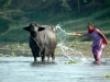 Washing a water buffalo at Chitwan