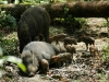 Wild Boar in the Royal Chitwan Pary