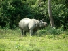 Rhinoceros in the Royal Chitwan Park