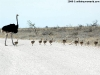 What a brood of ostriches