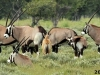 A-group-of-Gemsbok