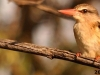 Brown-hooded-kingfisher