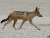 Jackal-Skeleton-Coast