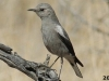 Mountain-Wheatear