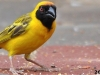 Southern-masked-weaver