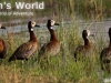 White-faced-ducks