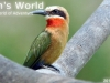White-fronte-bee-eater